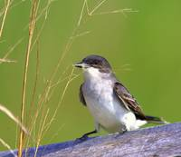 Queen of Nesters ~ The Kingbird