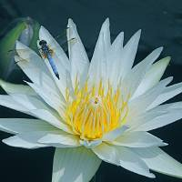 Dragonfly on Water Lily 1 Art Prints & Posters by Byron Varvarigos