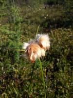 Cottongrass embrace