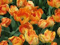 Talking Parrot Tulips