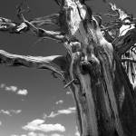 """""""Cedar Breaks Tree"""" by jen_vanhaur"""
