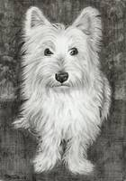 Westie Dog in pencil