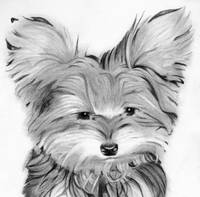 yorkie  dog head  pencil print