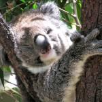 """Koala"" by sharppiephotos"
