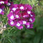 """Verbena"" by DRW"