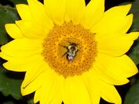 BumbleBeeSunflower