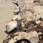 """Dunedin Moeraki Beach Sea Weed"" by DRW"