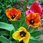 """""""LOVELY LARGE DUTCH TULIPS"""" by Mysticphotos"""