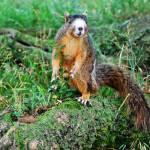 """RARE LARGE FOX SQUIRREL"" by Mysticphotos"