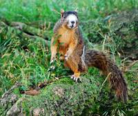 RARE LARGE FOX SQUIRREL