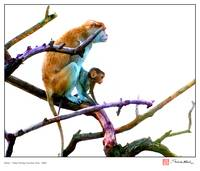 Patas Monkeys Number One