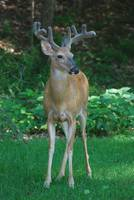 YOUNG BUCK DEER WITH VELVET ANTLERS