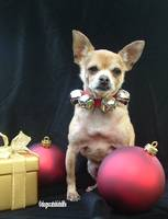 Timmy the Chihuahua Celebrates Christmas