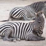"""""""Zebras"""" by PaigeLlewellyn"""