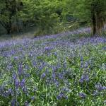 """Bluebell Meadow"" by StephenLipton"