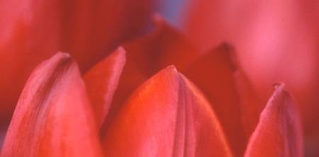 Red Tulip Abstract