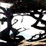 """Abstract Tree At Monterey"" by memoriesoflove"