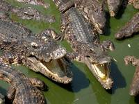 Feed the Crocs