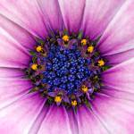 """African Daisy"" by MichaelSwanson"
