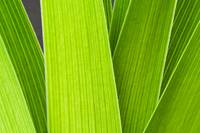 Daylily Leaves