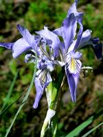 Arizona Wildflower - Rocky Mountain Iris