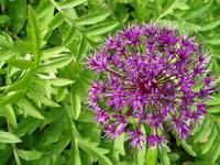 Allium Burst