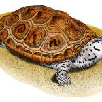 """Ornate Diamondback Terrapin"" by inkart"