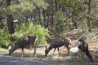 Grand Canyon Deer II