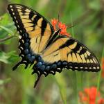 """Tiger Swallowtail"" by Tanager"