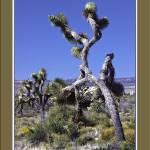 """Joshua Trees on the March II"" by bill_white"