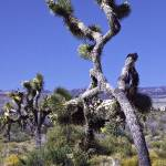 """Joshua Trees on the March"" by bill_white"