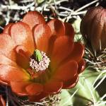 """Red Cactus Flower"" by bill_white"