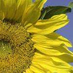 """Sunflower-0131"" by PhotographyPerspectives"