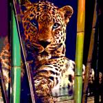 """""""Leopard in waiting"""" by yourimpressions"""