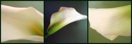 Calla Lily Tryptych