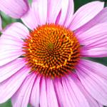 """Pink cone flower"" by 44shutterbug"