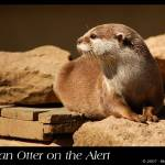 """Asian Otter on the Alert"" by uglybugga"