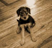 Vintage Airedale Puppy