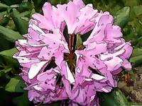 rhododendron water color