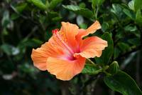 Hibiscus Against Leaves