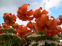 Tiger Lilies 396
