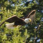 """Eagle in flight"" by KurtThorson"