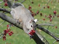 Gray Squirrel appearing to present flowers