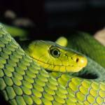 """green mamba"" by reptiles4all"