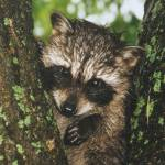 """Baby raccoon in the rain."" by Picsofnature"