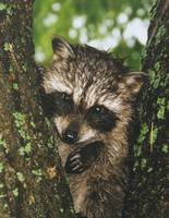 Baby raccoon in the rain.