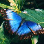 """Blue Morpho"" by JimJL"