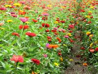 Rows of zinnia's
