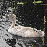 """""""Baby Mute Swan"""" by mikes-space"""