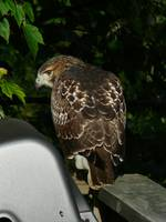 Red-tailed Hawk on deck with head turned